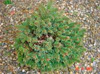 Picea abies 'Kerschbaumaier'