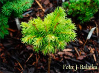 Picea abies 'Klisinec'