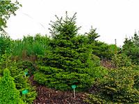 Picea abies 'Knaptonensis'