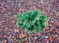 Picea abies 'Kohoutov'
