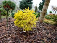 Picea abies 'Kornel Papocsy's Dwarf'