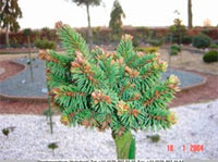 Picea abies 'Koslov'