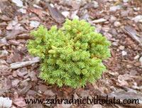 Picea abies 'Krasnice'
