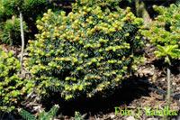 Picea abies 'Krnsko'