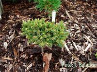 Picea abies 'Krymlov'