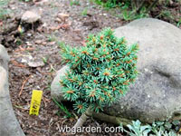 Picea abies 'Kubo1'