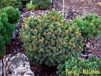 Picea abies 'Kunratice'