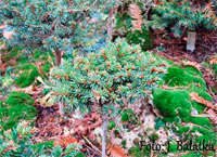 Picea abies 'Labe'