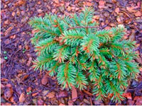 Picea abies 'Labeska'