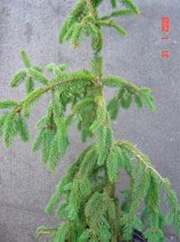 Picea abies 'Lac Leman'