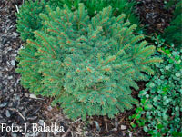 Picea abies 'Lanzov'