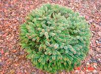 Picea abies 'Lavocy'