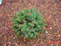 Picea abies 'Lawine'