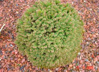 Picea abies 'Lome Broom'