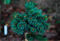 Picea abies 'Lukavec'