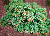 Picea abies 'Malv-16-4-86'