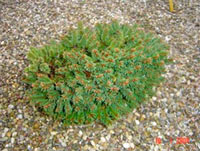 Picea abies 'Maly'