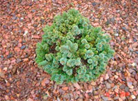 Picea abies 'Maly-86'