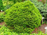 Picea abies 'Mariae-Orffiae'