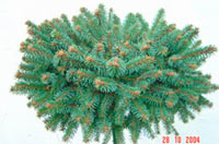 Picea abies 'Markvartice'