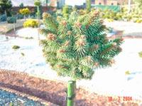Picea abies 'Mauthneralm 1'
