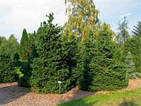 Picea abies 'Merkii'