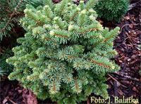 Picea abies 'Mezisveti'