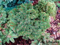 Picea abies 'Milavy'