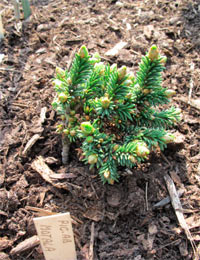 Picea abies 'Motala WB'