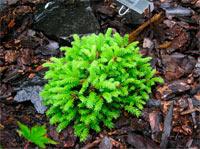 Picea abies 'Mucronata'