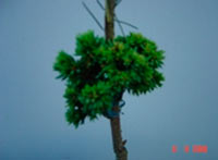 Picea abies 'Muhlrein'