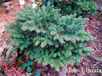 Picea abies 'Mukarov'