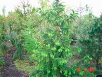 Picea abies 'Mutabilis'