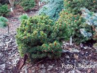 Picea abies 'Myta'