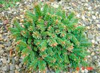 Picea abies NR102