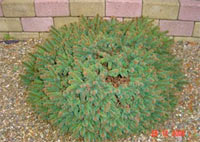 Picea abies 'Oberbozen'