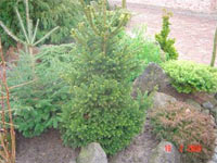 Picea abies 'Obergaertner Bruns'