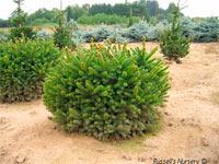 Picea abies 'Ohlendorfii'