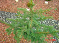 Picea abies 'Pachyphylla'