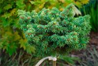 Picea abies 'Palecek'