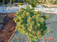 Picea abies 'Palecek Nr2'