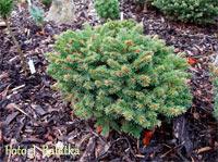 Picea abies 'Pelechy Nr1'