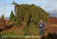 Picea abies 'Pendula Monstrosa'