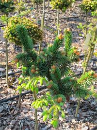 Picea abies 'Pichak'