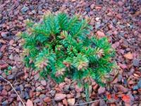 Picea abies 'Picnikov'