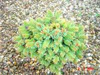 Picea abies 'Piktal-Nr2'
