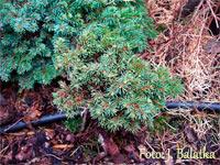 Picea abies 'Pisky'