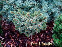 Picea abies 'Placka'