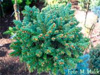 Picea abies 'Pod Lysym'