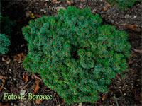 Picea abies 'Podskali'
